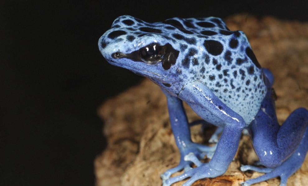 动物保护协会,一个蓝色的毒药飞镖青蛙坐在一块岩石